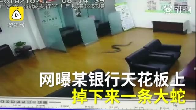 吓人!银行天花板突降大蛇,众人惊散