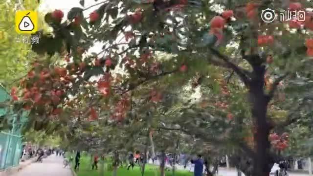 高校欲办柿子节,大妈爬树折枝抢柿